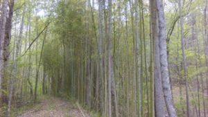 bamboo 4-17