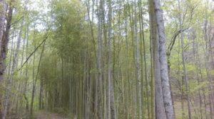 bamboo.1 4-17
